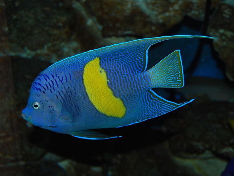 Pomacanthus maculosus Pomacanthus maculosus Wikipedia