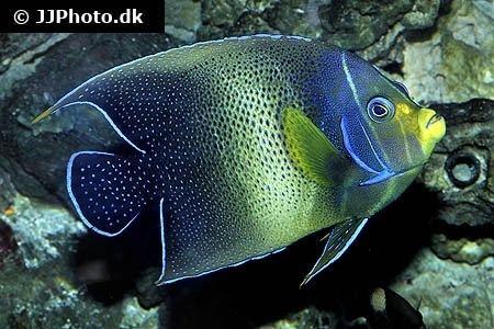 Pomacanthus semicirculatus Semicircle angelfish Pomacanthus semicirculatus in aquarium