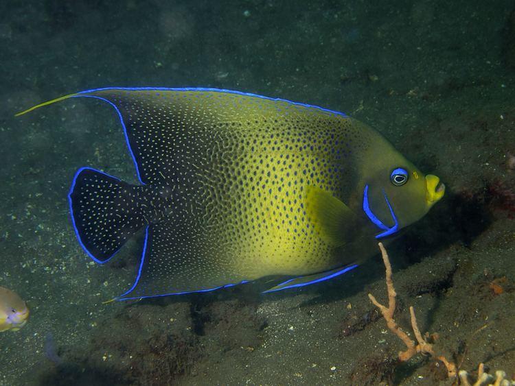 Pomacanthus semicirculatus FileSemicircle angelfish Pomacanthus semicirculatusjpg