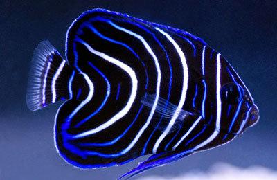 Pomacanthus semicirculatus Koran Juvenile Pomacanthus semicirculatus MAC Certified Angels