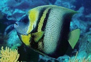 Pomacanthus zonipectus Pomacanthus zonipectus Cortez Angelfish Discover Life