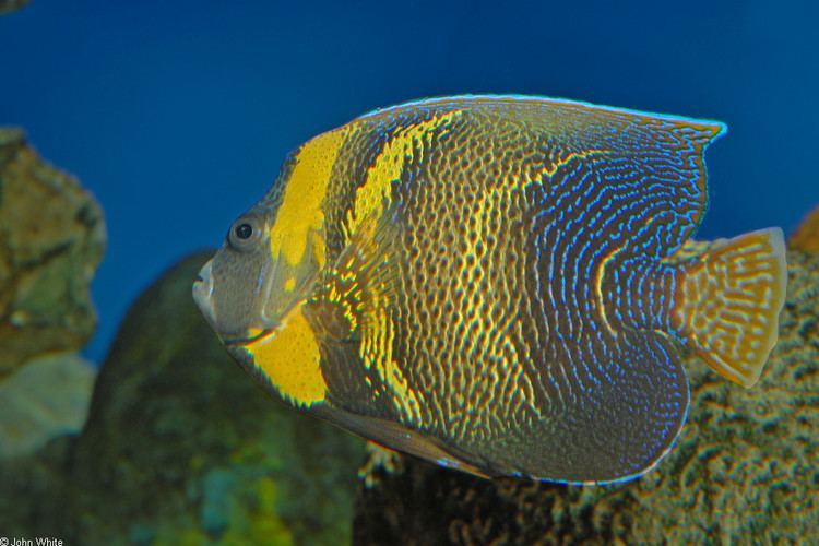 Pomacanthus zonipectus CalPhotos Pomacanthus zonipectus Cortez Anglefish