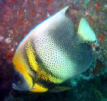 Pomacanthus zonipectus wwwfishbaseusimagesthumbnailsjpgtnPozonu3jpg