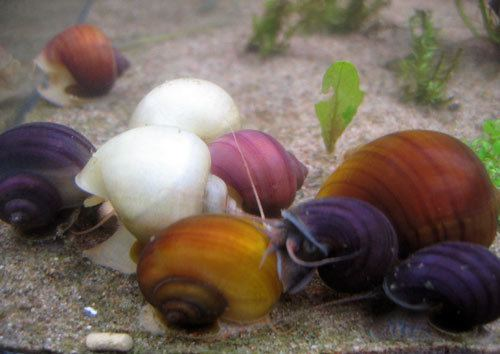 Pomacea bridgesii Scales Tails Wings and Things simplesnail Apple Snail Pomacea