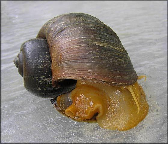 Pomacea canaliculata Fact Sheet Pomacea spp