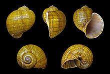 Pomacea canaliculata httpsuploadwikimediaorgwikipediacommonsthu