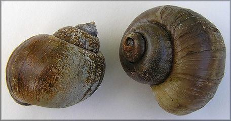 Pomacea canaliculata Pomacea canaliculata ZipcodeZoo