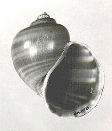 Pomacea dolioides httpsuploadwikimediaorgwikipediacommonsthu