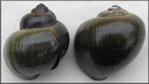 Pomacea paludosa paludosa Shell Variation