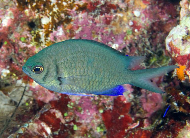 Pomacentridae Photos of damselfishes family Pomacentridae