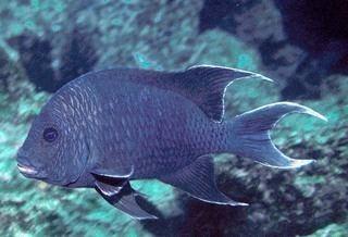 Pomacentridae Pomacentridae Damselfishes Discover Life