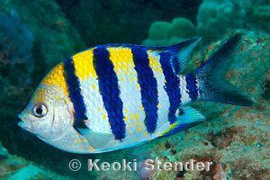 Pomacentridae wwwmarinelifephotographycomfishesdamselfishes