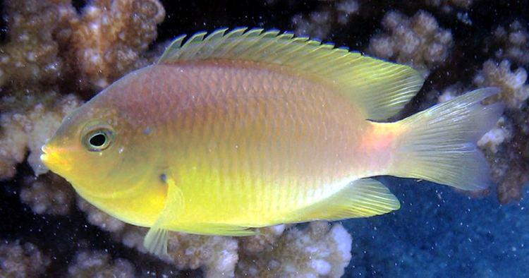 Pomacentrus amboinensis Pomacentrus amboinensis Wikipedia
