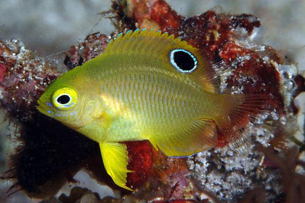 Pomacentrus amboinensis fishesofaustralianetauImagesImagePomacentrusA