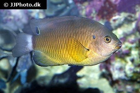 Pomacentrus bankanensis Speckled damselfish Pomacentrus bankanensis in aquarium