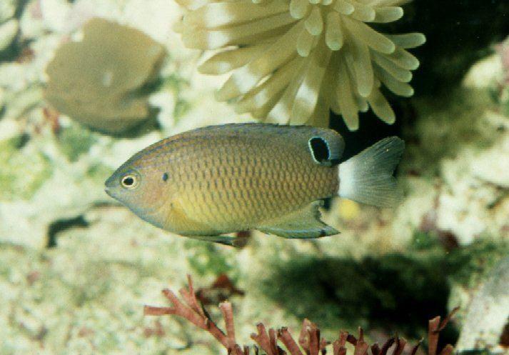Pomacentrus bankanensis CalPhotos Pomacentrus bankanensis Speckled Damsel