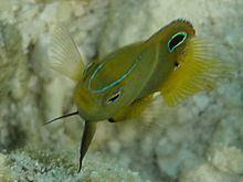 Pomacentrus bankanensis httpsuploadwikimediaorgwikipediacommonsthu