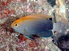 Pomacentrus chrysurus httpsuploadwikimediaorgwikipediacommonsthu