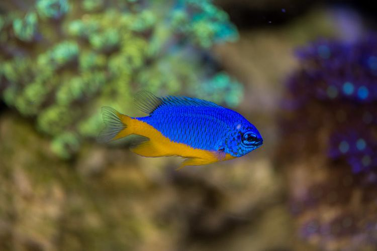 Pomacentrus coelestis AquaticLog stock by dgwyn Added Blue amp Gold Damselfish Pomacentrus
