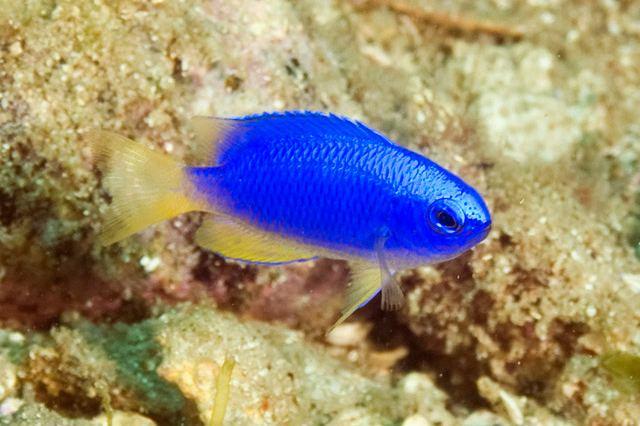 Pomacentrus coelestis fishesofaustralianetauImagesImagePomacentrCoe