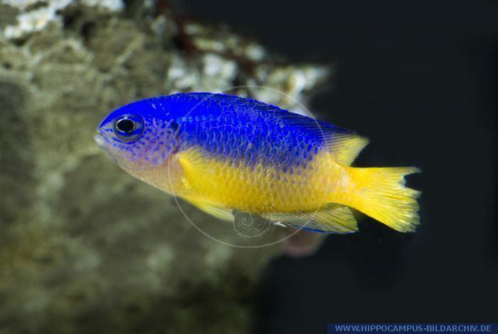 Pomacentrus coelestis Pomacentrus coelestis alias Blue Damsel Hippocampus Bildarchiv
