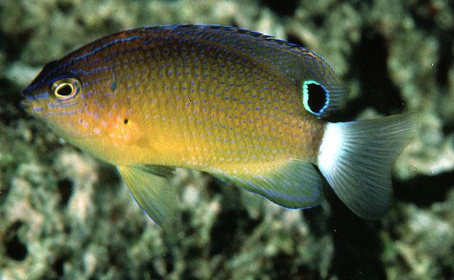Pomacentrus wwwfishbaseorgimagesspeciesPobanu0jpg