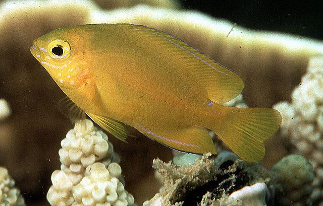 Pomacentrus Fish Identification