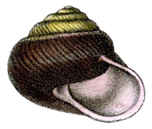 Pommerhelix