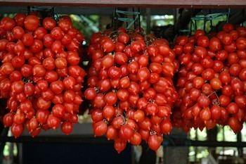 Pomodorino del Piennolo del Vesuvio Riconosciuto il Consorzio di tutela del Pomodorino del Piennolo del