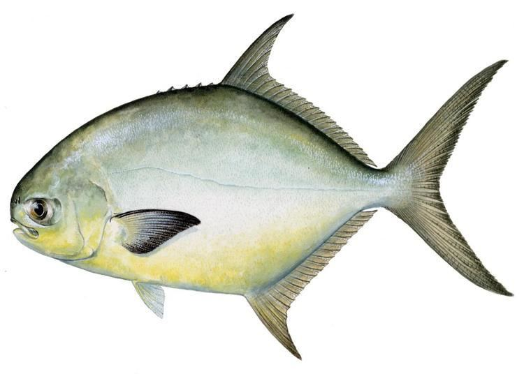 Pompano wwwfishingdestinguidecomsitebuilderimagesFlor