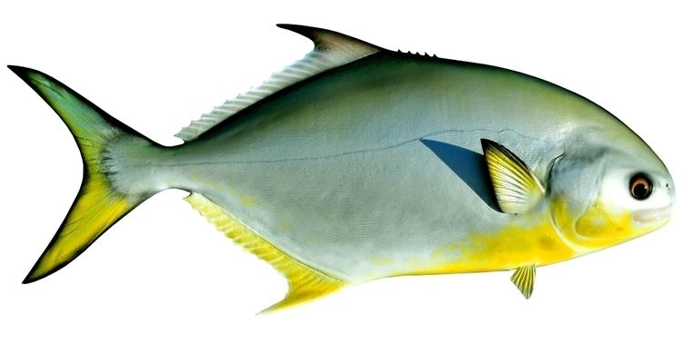 Pompano Pompano Mounts by King Sailfish Mounts