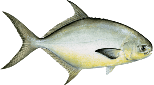 Pompano Pompano Recommendations from the Seafood Watch Program