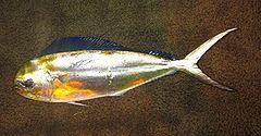 Pompano dolphinfish httpsuploadwikimediaorgwikipediacommonsthu