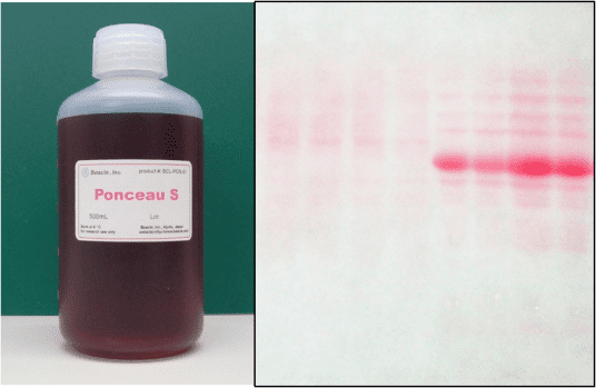 Ponceau S PonceauS Staining Solution Beacle Inc