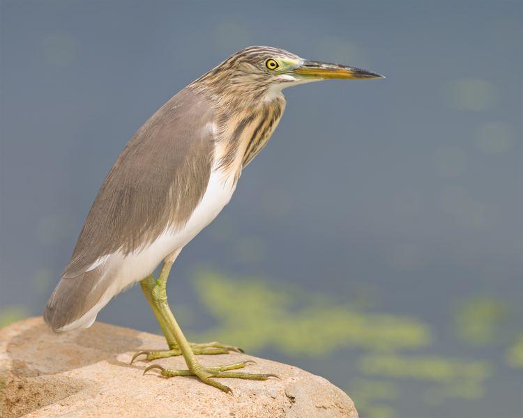 Pond heron FileArdeola bacchus Laem Pak Biajpg Wikimedia Commons