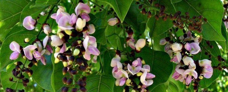 Pongamia Pongamia pinnata a tropical bean tree Medicinal Value