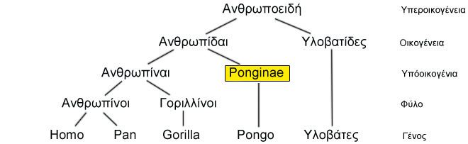 Ponginae Ponginae