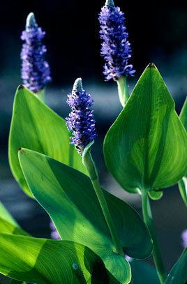 Pontederia cordata Pontederia cordata pickerel weedRHS Gardening