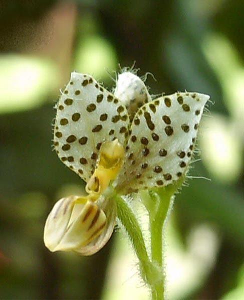 Ponthieva Ponthieva maculata Wikipedia wolna encyklopedia