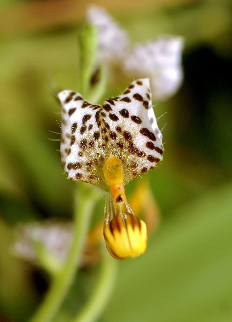 Ponthieva Ponthieva maculata Wikiwand