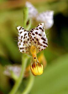 Ponthieva maculata httpsuploadwikimediaorgwikipediacommonsthu