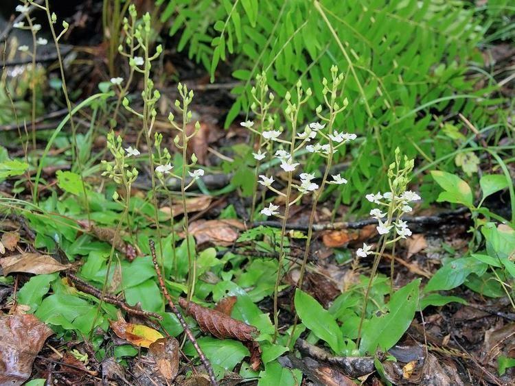 Ponthieva racemosa Ponthieva racemosa Hairy Shadow Witch Go Orchids