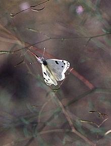 Pontia beckerii httpsuploadwikimediaorgwikipediacommonsthu