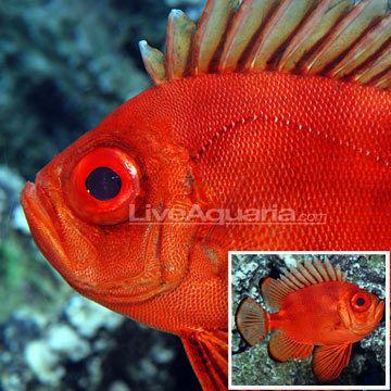 Popeye catalufa Catalufa Soldierfish
