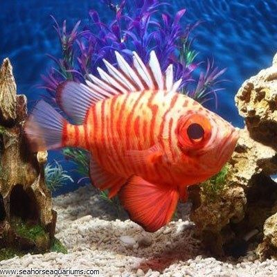 Popeye catalufa Popeye Catalufa Soldierfish Seahorse Aquariums Ltd