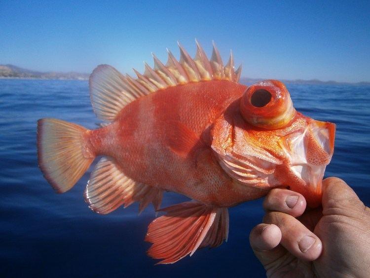 Popeye catalufa Popeye Catalufa Mexico Fish Marine Life Birds and Terrestrial Life