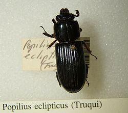 Popilius eclipticus httpsuploadwikimediaorgwikipediacommonsthu