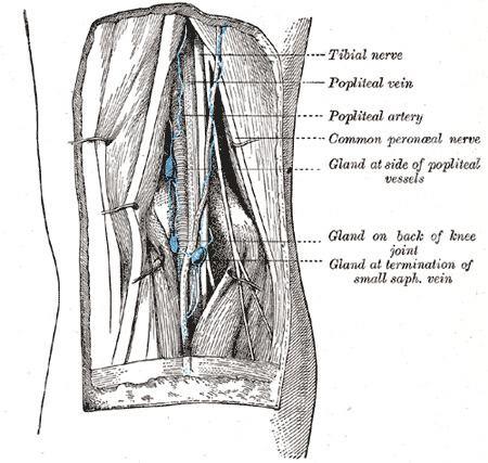 Popliteal lymph nodes