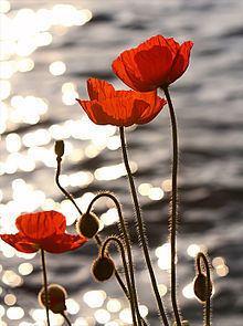 Poppy httpsuploadwikimediaorgwikipediacommonsthu