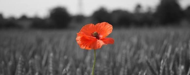 Poppy The story of the poppy The Royal British Legion